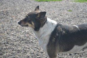 LESSIE (YARD DOG)
